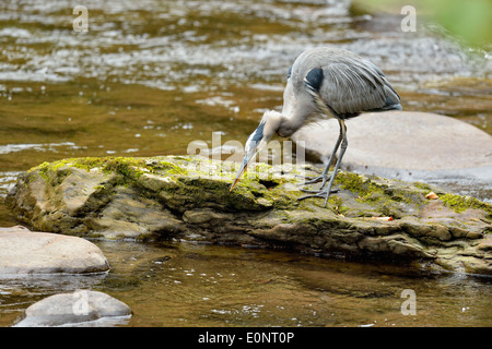 Great blue heron (Ardea herodias) Hunting in the Little River, Great Smoky Mountains National Park, Tennessee, USA - Stock Photo