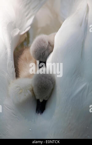 Abbotsbury Swannery, Dorset UK 17 May 2014. Cute fluffy cygnets cygnet, baby swans swan, ride on the parents swans - Stock Photo