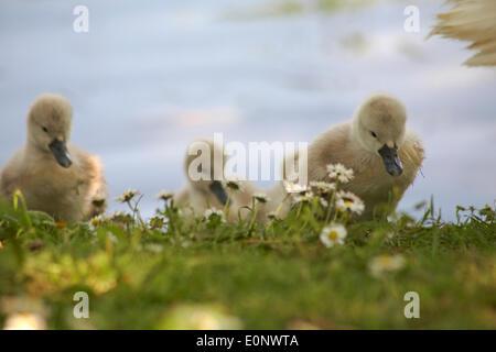 Abbotsbury Swannery, Dorset UK 17 May 2014. Cute fluffy cygnet cygnets, baby swans swan, walking on grass.  Mute - Stock Photo