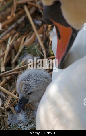 Abbotsbury Swannery, Dorset UK 17 May 2014. Baby swans swan hatch and fluffy cygnets cygnet appear. Abbotsbury Swannery - Stock Photo