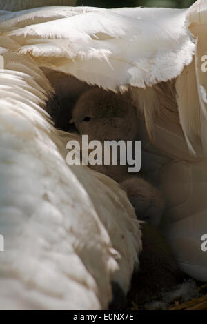 Abbotsbury Swannery, Dorset UK 17 May 2014. Cute fluffy cygnets cygnet, baby swans, hide under parents swans swan - Stock Photo