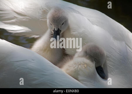 Abbotsbury Swannery, Dorset UK 17 May 2014. Cute fluffy cygnet cygnets, baby swans swan, ride on the parents swans - Stock Photo