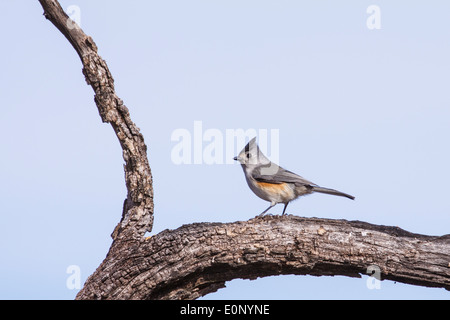 Black-crested Titmouse, Baeolophus atricristatus, on tree branch - Stock Photo