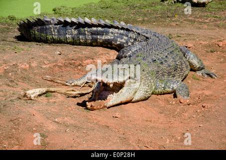 Australia, Western Australia, Broome. Malcolm Douglas Crocodile Park. Large saltwater crocodile. - Stock Photo
