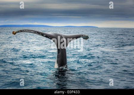 Fluke of a Southern Right Whale (Eubalaena australis), near Busselton, Western Australia - Stock Photo