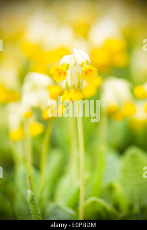 Yellow cowslip or primrose flower at spring - Stock Photo