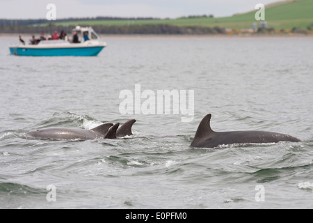 Bottlenose dolphins (tursiops truncatus) and a dolphin watching boat, Moray Firth, Scotland, UK - Stock Photo