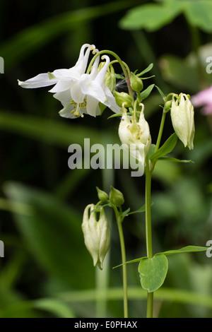 White seedling of the UK native columbine, Aquilegia vulgaris - Stock Photo