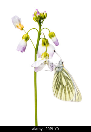 A Green veined white butterfly, resting on the petals of Cuckoo flower, against a white background. - Stock Photo