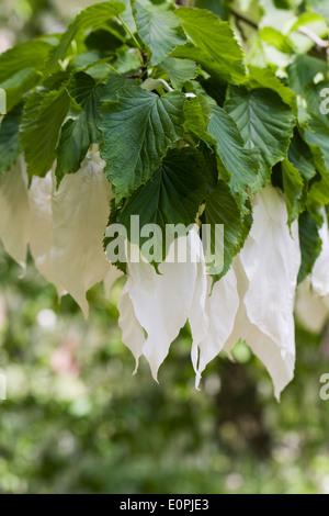 Davidii involucrata in flower. The Handkechief tree. - Stock Photo