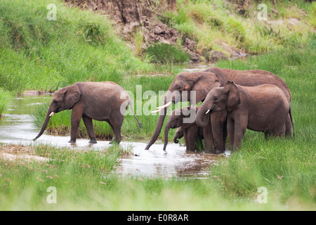 African elephant (Loxodonta africana). Photographed in Tanzania - Stock Photo