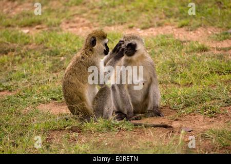 Vervet monkey (Chlorocebus pygerythrus). - Stock Photo