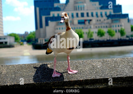 London, UK. 19th May, 2014. An Egyptian goose stands on the embankment wall opposite MI6 in London Credit:  Rachel - Stock Photo