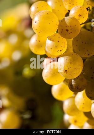 Weintrauben am Rebstock, Wachau - Grapes - Stock Photo