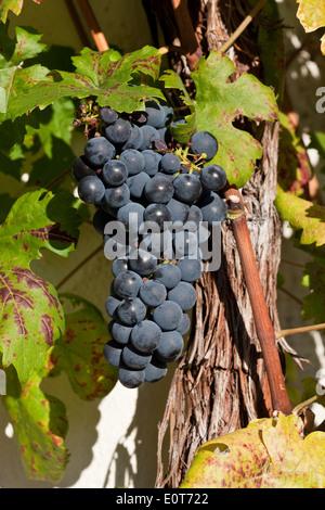 Blaue Weintrauben - Grapes