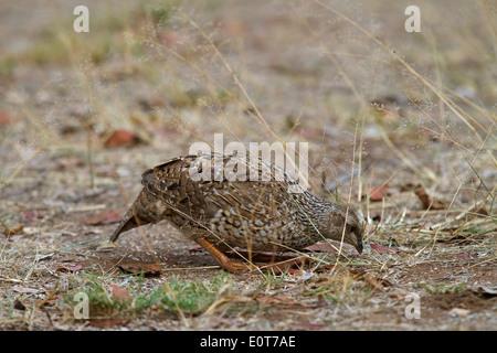 Natal Spurfowl juvenile (Pternistis natalensis natalensis), Kruger National Park, South Africa - Stock Photo