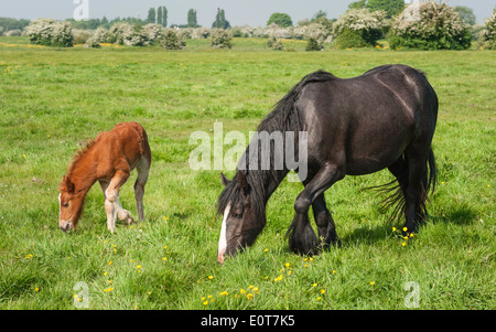 Mare and her foal graze on open pasture on Swine Moor, Tickton, near Beverley, Yorkshire, UK on a bright spring - Stock Photo