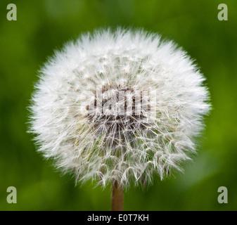 Pusteblume - Dandelion - Stock Photo