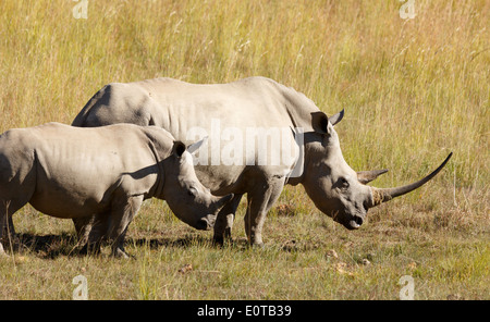 White rhinoceros (Ceratotherium simum) grazing with a calf at Pilanesberg National Park, South Africa. - Stock Photo