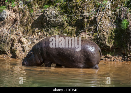 Pygmy hippopotamus (Choeropsis liberiensis / Hexaprotodon liberiensis) foraging along river bank, native to West - Stock Photo