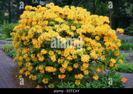 Yellow Rhododendron luteum azalea shrub in full bloom - Stock Photo