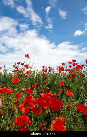 Wild poppies field on blue sky and clouds background - Stock Photo