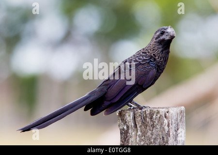 Smooth Billed Ani Crotophaga ani on the Osa peninsula in Costa Rica - Stock Photo