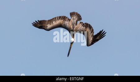 Brown pelican Pelecanus occidentalis diving for fish on the coast of Costa Rica - Stock Photo
