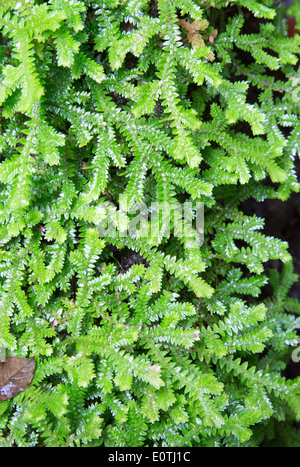 Liverwort moss growing in wet rainforest at La Fortuna Waterfall in Costa Rica - Stock Photo