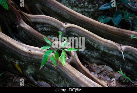 Young sapling growing between the buttress roots of a rainforest tree in the Corcovado National Park Costa Rica's - Stock Photo