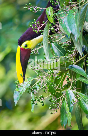 Chestnut Mandibled Toucan reaching down to delicately pick green fruit from a forest shrub - Sarapiqui Costa Rica - Stock Photo