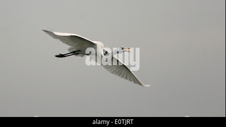 A Great Egret calling and flying above the Atlantic Ocean. - Stock Photo