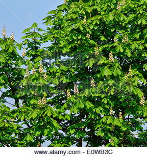horse chestnut Aesculus hippocastanum tree in flower in springtime against a blue sky - Stock Photo