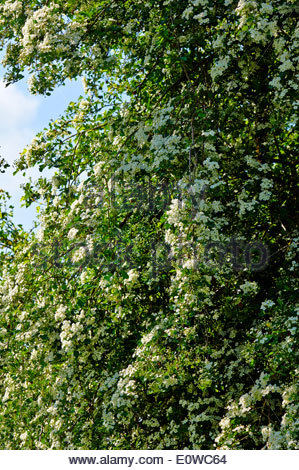 mass of white blossom on a hawthorn tree crataegus monogyna in the springtime countryside - Stock Photo