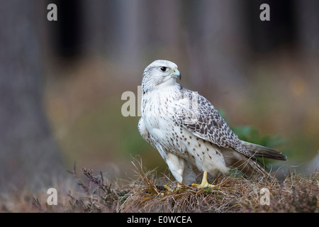 Gyrfalcon (Falco rusticolus) standing on dry vegatation. germany - Stock Photo
