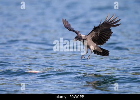 Hooded Crow (Corvus corone cornix). Adult in landing approch to a dead fish drifting in water. Mecklenburg-Western - Stock Photo
