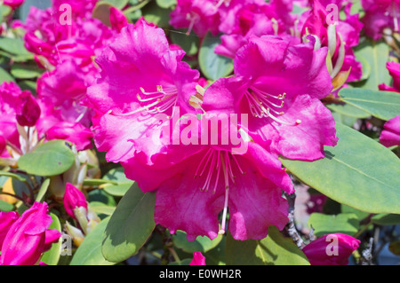 Flowers of rhododendron Linda ,  Britannia X williamsianum - Stock Photo
