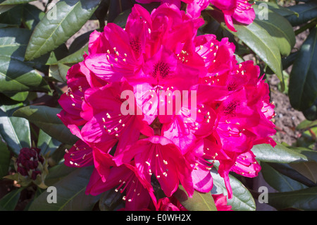 Flowering evergreen shrub rhododendron Nova Zembla - Stock Photo