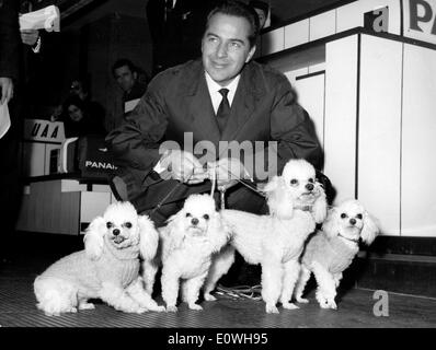Actor Rossano Brazzi with his four French Poodles - Stock Photo