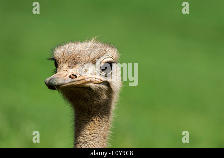 Common ostrich (Struthio camelus) close up of head - Stock Photo