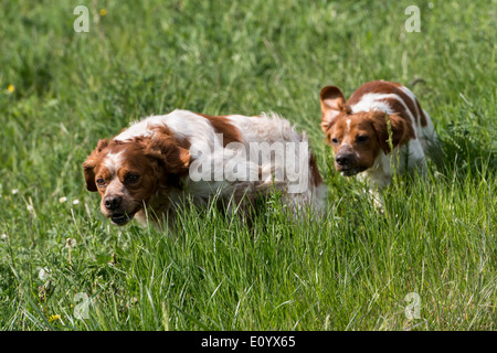 Brittany Spaniel, also known as Epagneul Breton or American Brittany. - Stock Photo