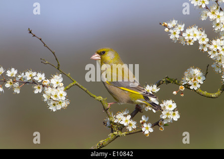 Greenfinch Carduelis chloris on Spring blackthorn Blossom - Stock Photo
