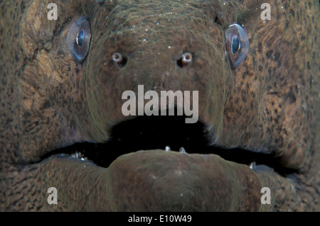 Giant Moray Eel Portrait, Egypt (Gymnothorax javanicus) - Stock Photo