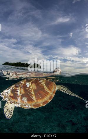 Green Sea Turtle, Sipdan island Malaysia (Chelonia mydas) - Stock Photo
