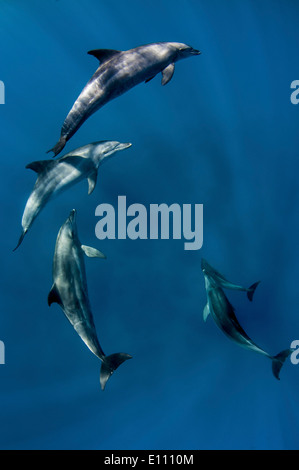 Bottlenose dolphins near the surface, Egypt (Tursiops truncatus) - Stock Photo