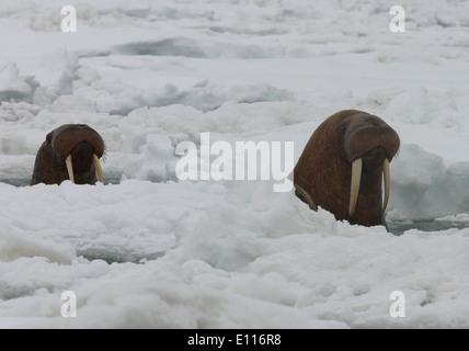 Pacific Walrus Surfacing Through Ice - Stock Photo