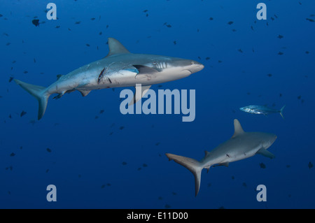 Grey reef sharks hurt by mating (Carcharhinus amblyrhynchos) - Stock Photo