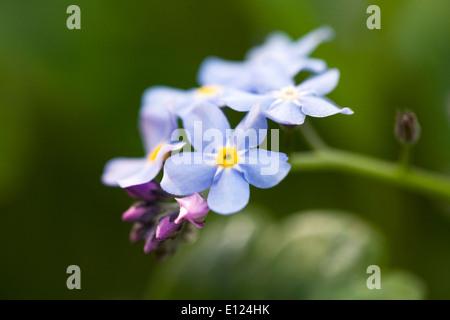 Myosotis sylvatica . Forget me not in an English garden. - Stock Photo