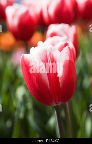 Tulipa 'Timeless'. Red and White Tulip in a Spring garden. - Stock Photo