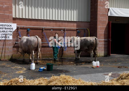 Exeter, Devon, UK. 21st May, 2014. Sprucing up the cattle ready for tomorrow's show  Devon County Show Press Preview - Stock Photo